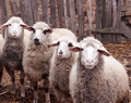 Dirty sheeps selective focus on the right side sheep Stock Photos