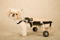 Disabled paralysed puppy dog strapped into canine disability cart wheelchair on beige background Royalty Free Stock Photography