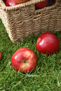 Discovery apples apple variety at harvest time variety name malus domestica Royalty Free Stock Image