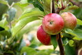 Discovery apples a view some delicious on the tree in august Stock Photo