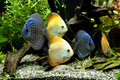 Discus Aquarium Fish Royalty Free Stock Image