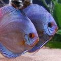 Discus fish Arkivfoton