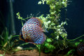 Discus fish coloured in an aquarium Royalty Free Stock Photography