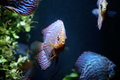 Discus fish coloured in an aquarium Stock Image