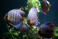Discus fish many in an aquarium Stock Images