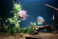Discus fish many in an aquarium Royalty Free Stock Images