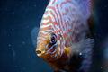 Discus fish orange in an aquarium Stock Photos