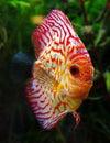 Discus fish symphysodon in aquarium Royalty Free Stock Photo