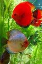 Discus fish symphysodon in aquarium Royalty Free Stock Image