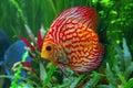 Discus fish symphysodon in aquarium Stock Image