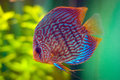 Discus fish is a tropical from the amazon region in south america are a popular species for aquarists Stock Photography
