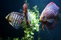 Discus fishes Stock Photos