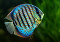 Discus tropical decorative fish aquarium symphysodon spp on natural green background Stock Photography