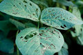 Diseases and insect pests of soybean leaves Stock Photo