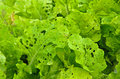 Diseases lettuce leaves and insect pests of Royalty Free Stock Images