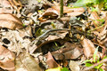 Disguised lizard among dry leaves Royalty Free Stock Photos