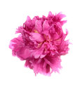 Dishevelled pink peony isolated on white background Royalty Free Stock Image