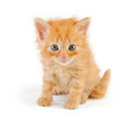 Dishevelled red kitten looking at the viewer isolated on white Stock Images
