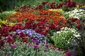 Display of fall mums colorful in a garden Stock Image