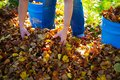 Dispose fall leaves Royalty Free Stock Photo