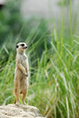 Dispositif protecteur de meerkat Images libres de droits