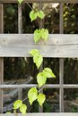 Disrepair pane vine plant grown dependent on the dilapidated of Stock Images