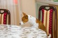 Dissatisfied basenji in angry mood for master is being so long with waiter service Royalty Free Stock Image