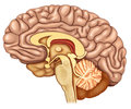 Dissected brain lateral view illustration dissection in side in which we can see the cerebellum hipofis gland stem Stock Photography