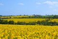 Distant Canola Rape Seed Fields Royalty Free Stock Photo