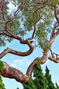 Distorted Branches on Old Eucalyptus Tree