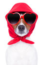 Diva dog with red sunglasses cool looking Stock Images