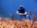Diver admires stag horn coral. Royalty Free Stock Photos
