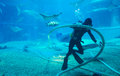 Diver cleans aquarium unindentified fish tank surrounded by sharks and bat ray Stock Image