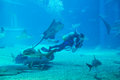 Diver cleans aquarium unindentified fish tank surrounded by sharks and bat ray Stock Images