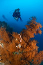Diver and coral Indonesia Sulawesi Royalty Free Stock Photography