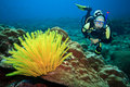 Diver and feather star Royalty Free Stock Photography