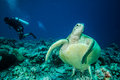 Diver and green sea turtle chelonia mydas going to swim leaving the in derawan kalimantan indonesia underwater photo Stock Photos