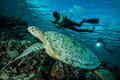 Diver and green sea turtle in Derawan, Kalimantan, Indonesia underwater photo Royalty Free Stock Photo