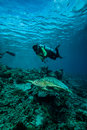 Diver and green sea turtle in derawan kalimantan indonesia underwater photo chelonia mydas swimming above the reefs heading to Stock Image