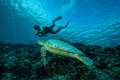 Diver and green sea turtle in derawan kalimantan indonesia underwater photo chelonia mydas swimming above the reefs heading to Royalty Free Stock Photo