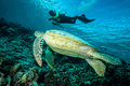 Diver and green sea turtle in derawan kalimantan indonesia underwater photo chelonia mydas swimming above the reefs heading to Royalty Free Stock Photos