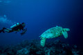 Diver and green sea turtle in derawan kalimantan indonesia underwater photo chelonia mydas swimming above the reefs heading to Stock Photos