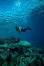 Diver and green sea turtle in derawan kalimantan indonesia underwater photo chelonia mydas swimming heading to Stock Image