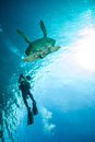 Diver and green sea turtle in derawan kalimantan indonesia underwater photo chelonia mydas swimming heading to Royalty Free Stock Images