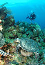 Diver and hawksbill sea turtle. Stock Image