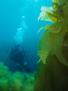 Diver and kelp scuba examining underwater Royalty Free Stock Photos
