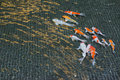 Diverse group of Japanese Koi or Fancy carp swimming in pond.wat Royalty Free Stock Photo