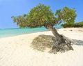 Divi Aruba tree Royalty Free Stock Photo