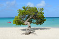 Divi Divi Tree in Aruba Royalty Free Stock Photo