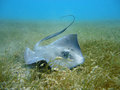 Diving with Manta ray Royalty Free Stock Photography
